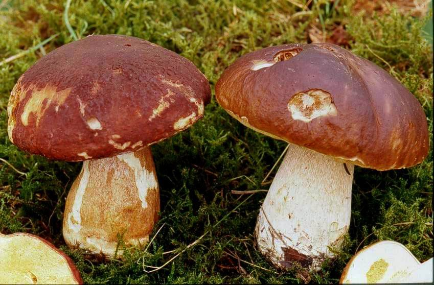 boletuspinophilus2.jpg